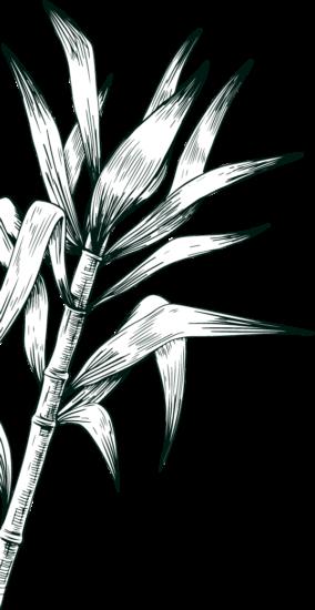 Gravure canne à sucre rhum