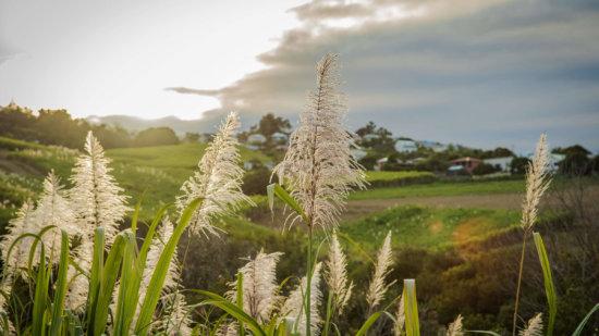 Fleurs de canne à sucre Isautier