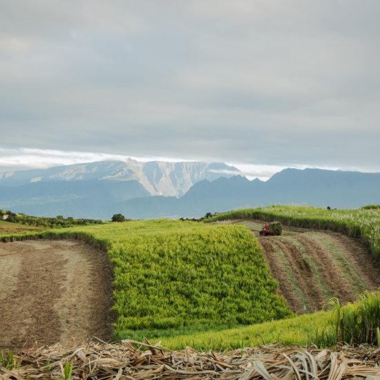 Paysage Réunion champ canne à sucre Isautier